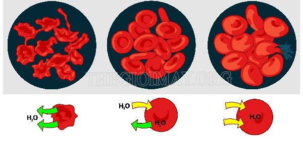 Vai trò của áp suất thẩm thấu trong máu là gì?